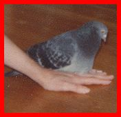 Children's stories and fairy tales from Baby Bird Productions. A photo of Bucky the pigeon.